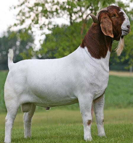 This image has an empty alt attribute; its file name is boer-goat-ff.jpg